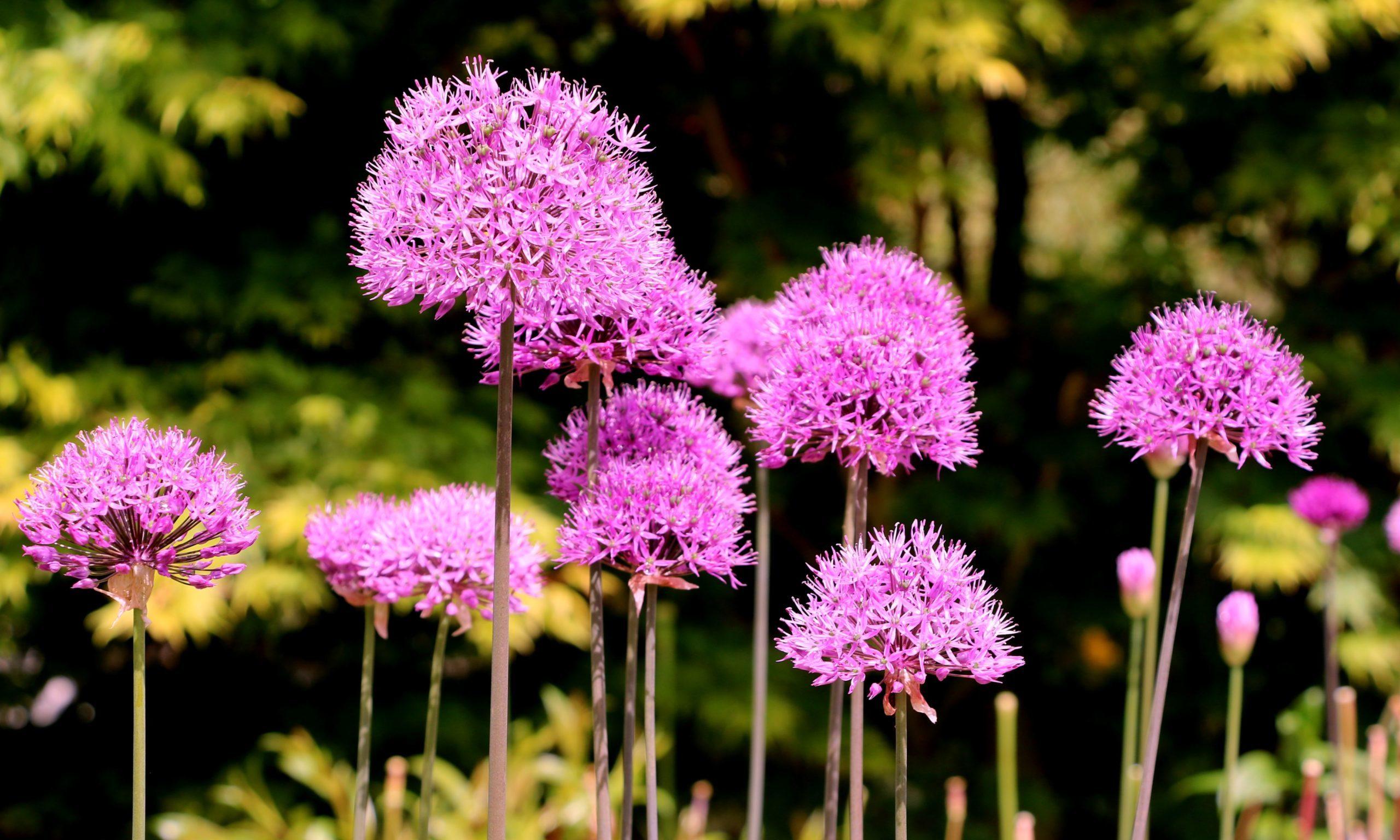Allium in flower