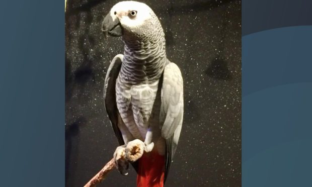 Bandit the Congo African Gray