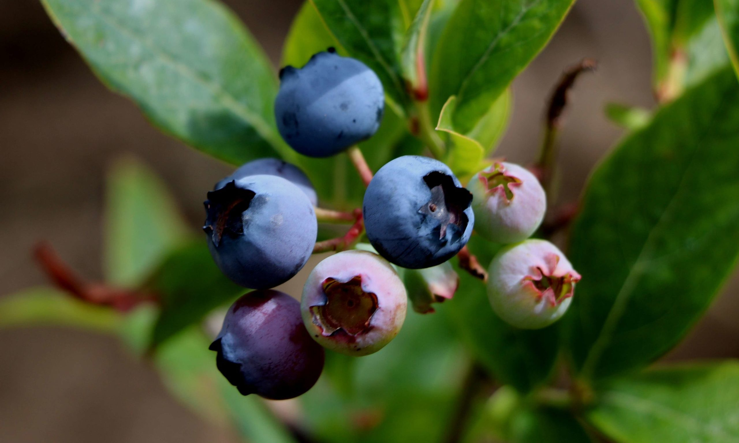 Blueberries July 2018