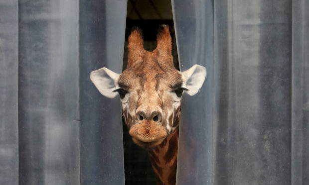 A giraffe pokes its head out from its enclosure at Blair Drummond Safari Park, near Stirling, which reopens today as part of Scotland's phased plan to ease out of the coronavirus lockdown. PA Photo. Picture date: Monday June 29, 2020. See PA story HEALTH Coronavirus. Photo credit should read: Andrew Milligan/PA Wire