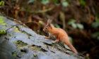 Red squirrel. Pic: Keilidh Ewan.
