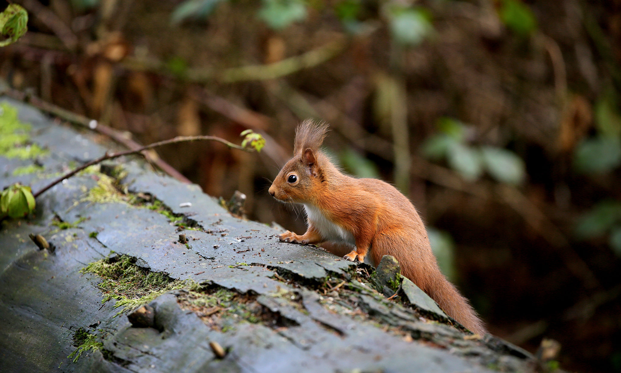 Red squirrel. Pic: Keilidh Ewan.