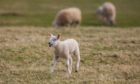 Courier News, unknown reporter Story, CR0020696 Coronavirus / COVID-19 / lockdown -- Picture of the day options -- scenics. Picture shows spring lamb in a field near Forteviot / sheep -- Fields by Forteviot - Friday 3rd April 2020  Pic Credit - Steve MacDougall / DCT Media