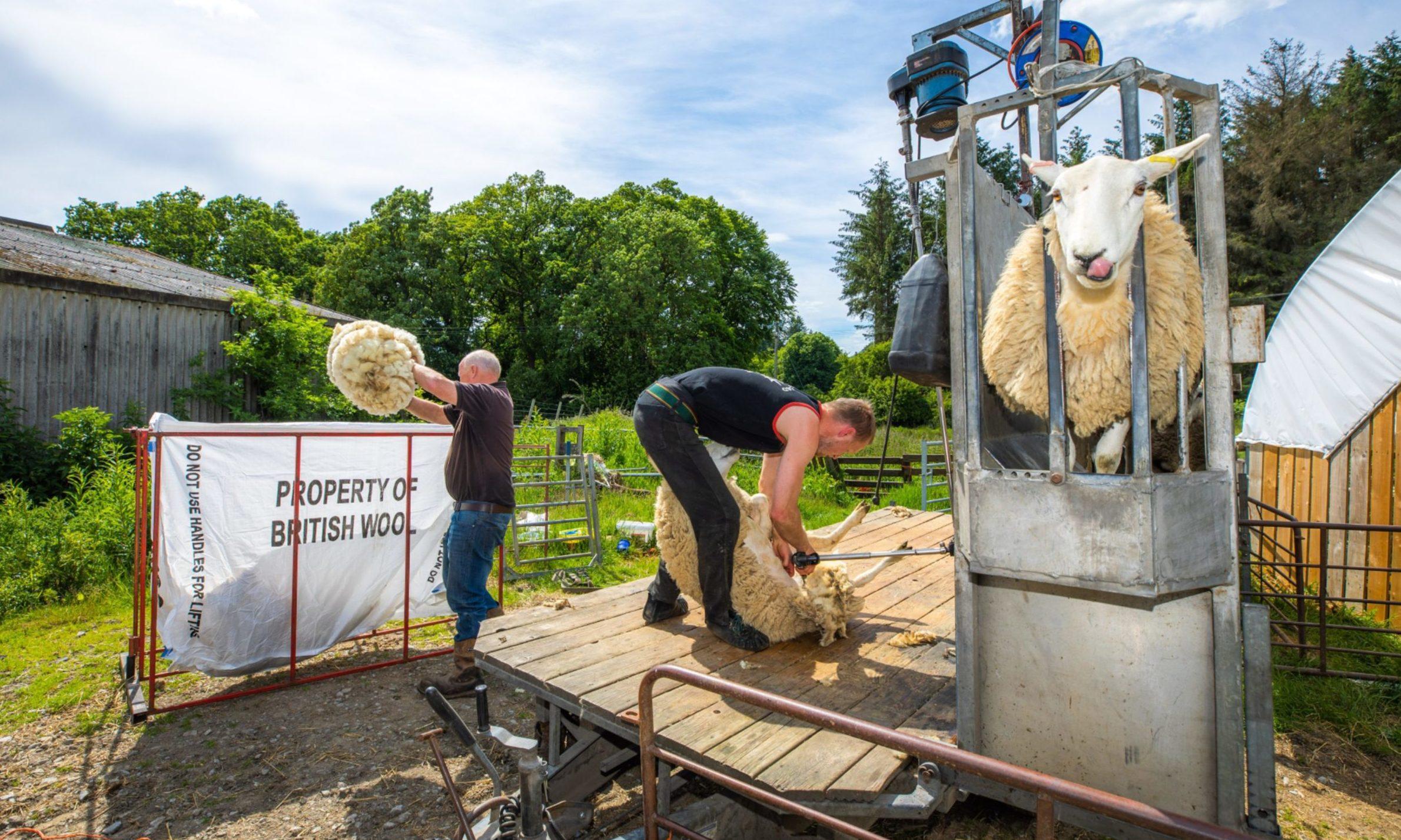 Stewart Kennedy shearing sheep alongside dad Roddy Kennedy at Borlick Farm, Aberfeldy.