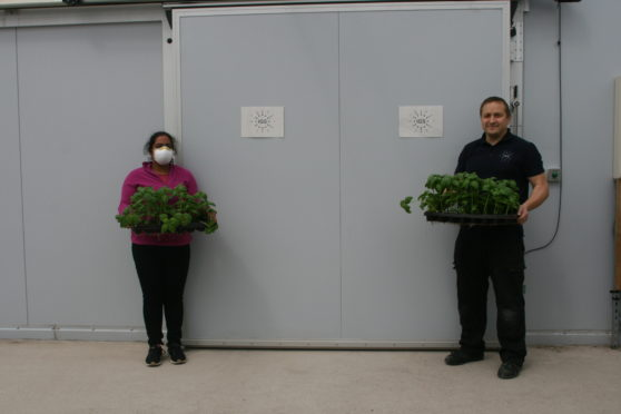 Sohini Mukhopadhyay, left, from Dudhope Multicultural Centre collecting produce from IGS technician Andris Sprukts, right, at the Invergowrie vertical farm.