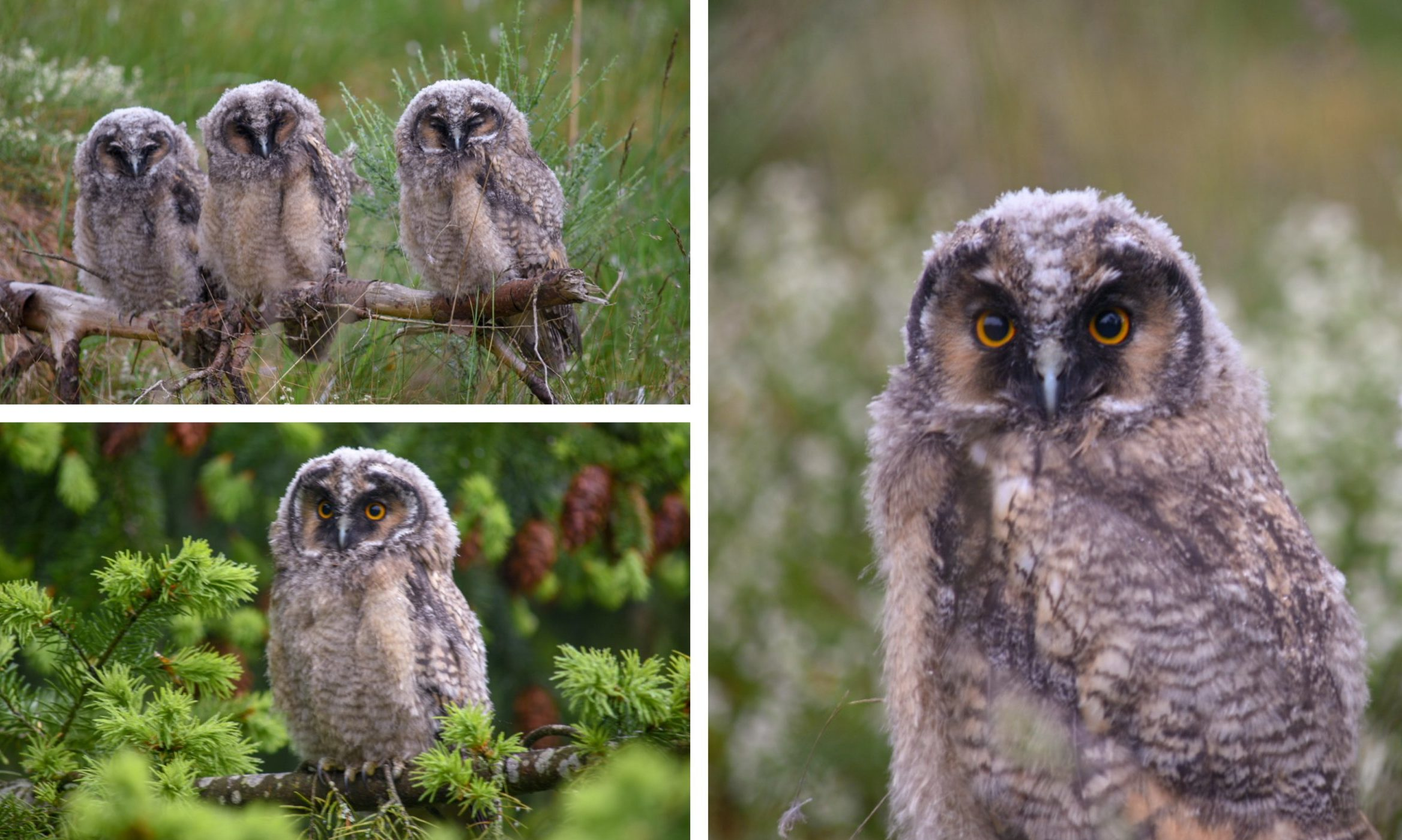 The Angus owlets.