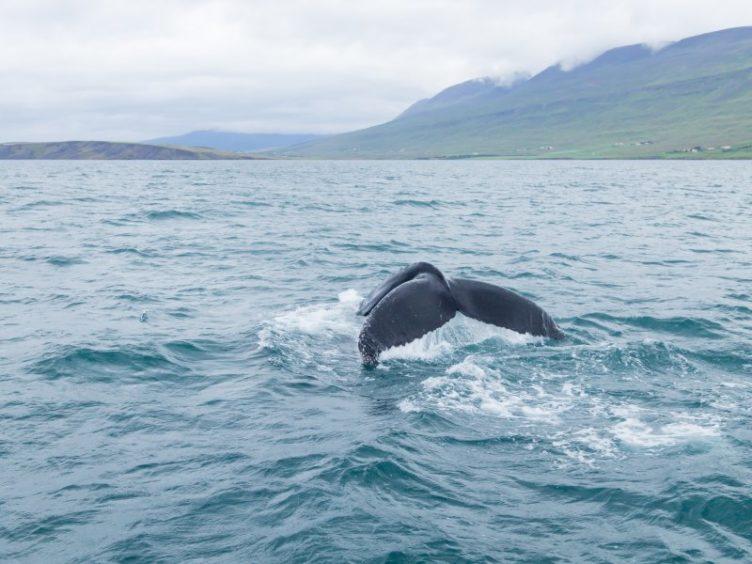 Humpaback Whales