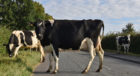 What is the legal position if animals stray on to the public highway?