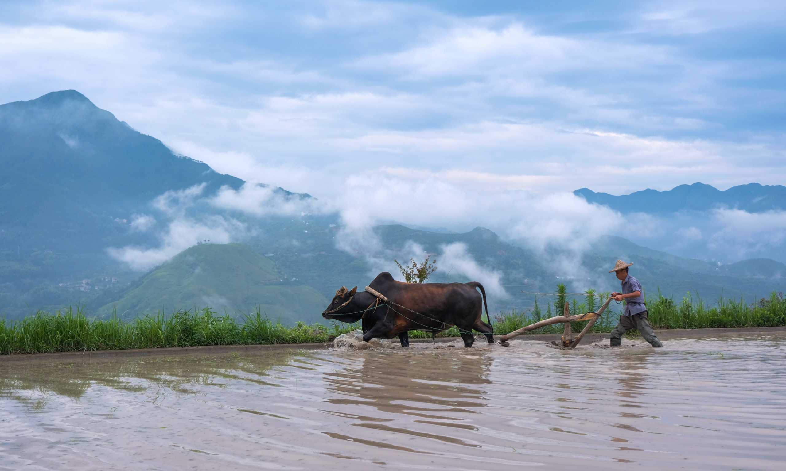 Mandatory Credit: Photo by Xinhua/Shutterstock (10676562h) A farmer ploughs the field in the help of a buffalo in Xiaozhoushan Township, Qingtian County of east China's Zhejiang Province, June 11, 2020. Farmers started ploughing for transplanting rice seedlings in terraced fields in Xiaozhoushan Township after the planted rape are harvested in June. China Zhejiang Qingtian Fields Plough - 11 Jun 2020