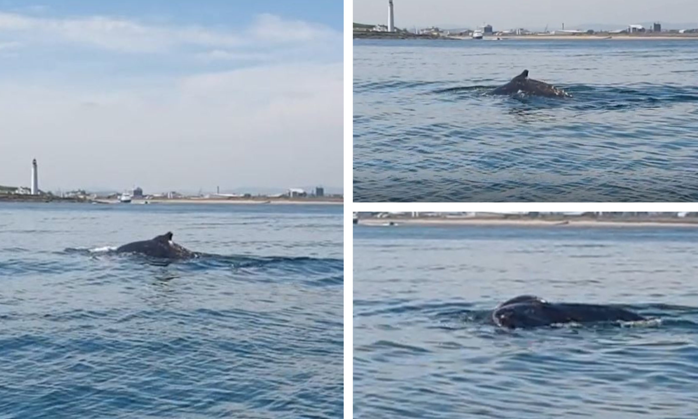 A humpback whale spotted near Montrose last week.