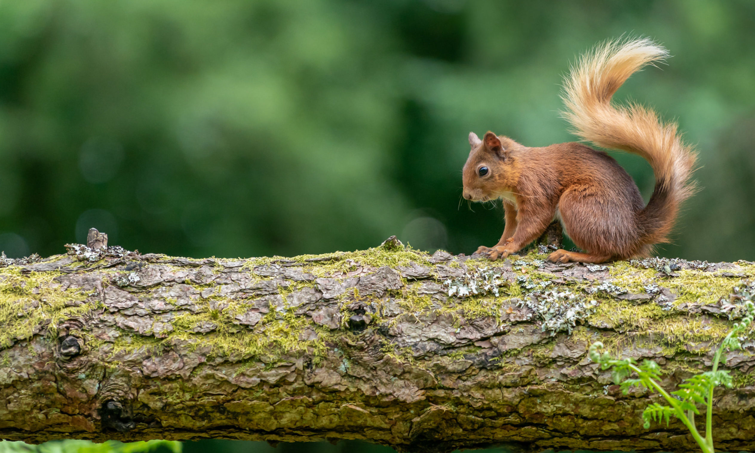 A red squirrel in Perthshire