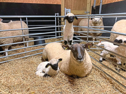 Tom and Julie McKechnie breed Valais Blacknose on their Fife Farm.