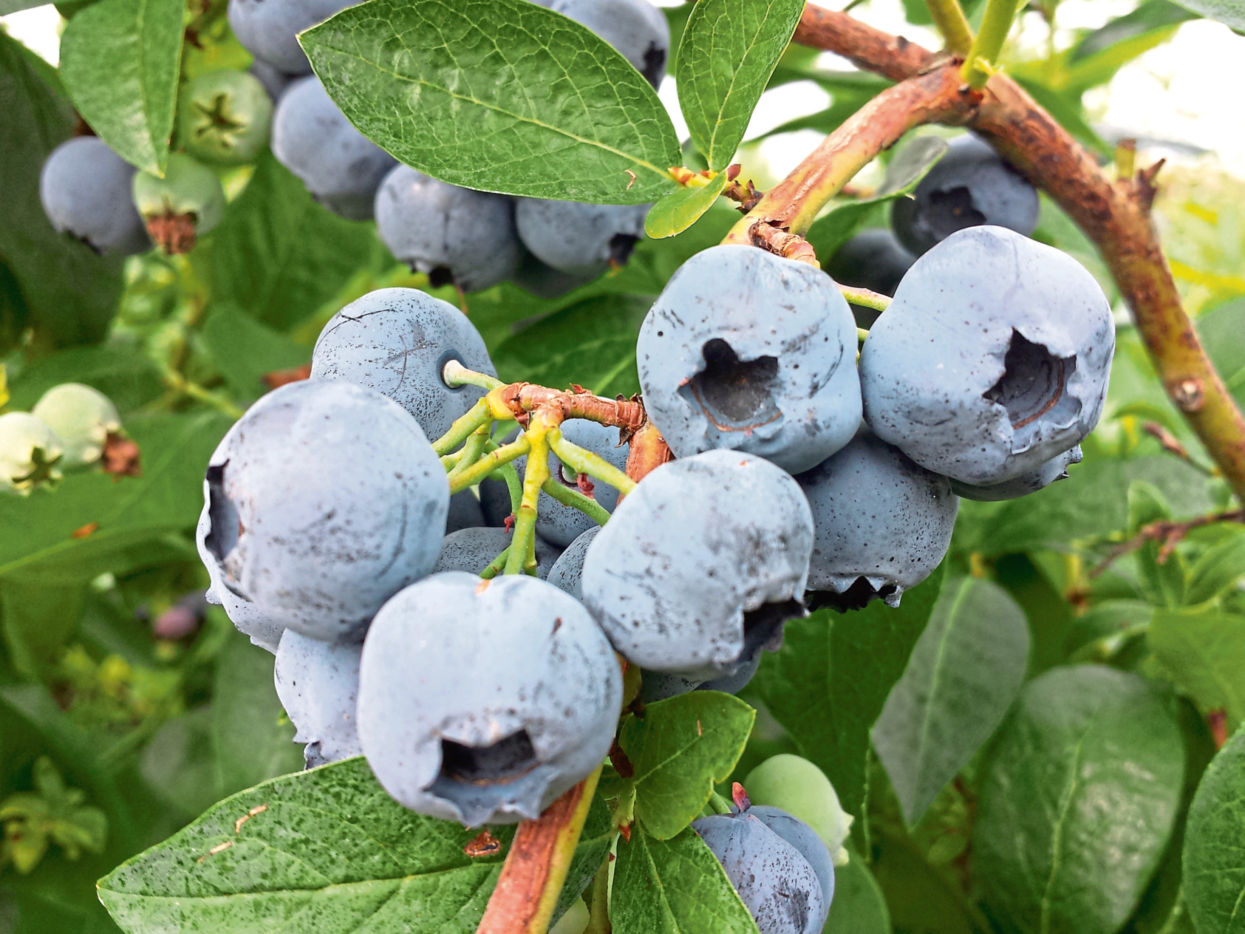 Blueberries are widely grown in Scotland and are more flavoursome than imported berries.