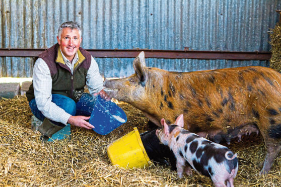 Steve MacDougall, Courier, Newmiln Farm, Tibbermore, by Perth. Farming Feature on Hugh Grierson, an organic farmer. Pictured, Hugh Grierson feeding a sow and piglets (pigs). HOLD FOR USE 27TH APRIL.