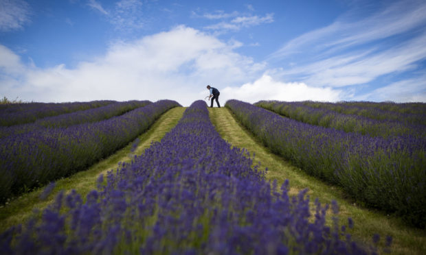 Lavender farmer Rory Irwin, from Scottish Lavender Oils, inspects the rows of folgate lavender ahead of this year's harvest at Tarhill Farm near Kinross, Fife. PA Photo. Picture date: Friday July 10, 2020. Photo credit should read: Jane Barlow/PA Wire