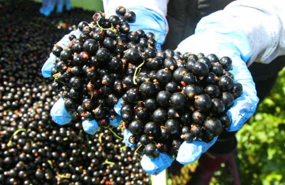 Blackcurrants need a winter chill to bear fruit come summertime.