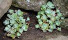 Sedum spathulifolium purpureum