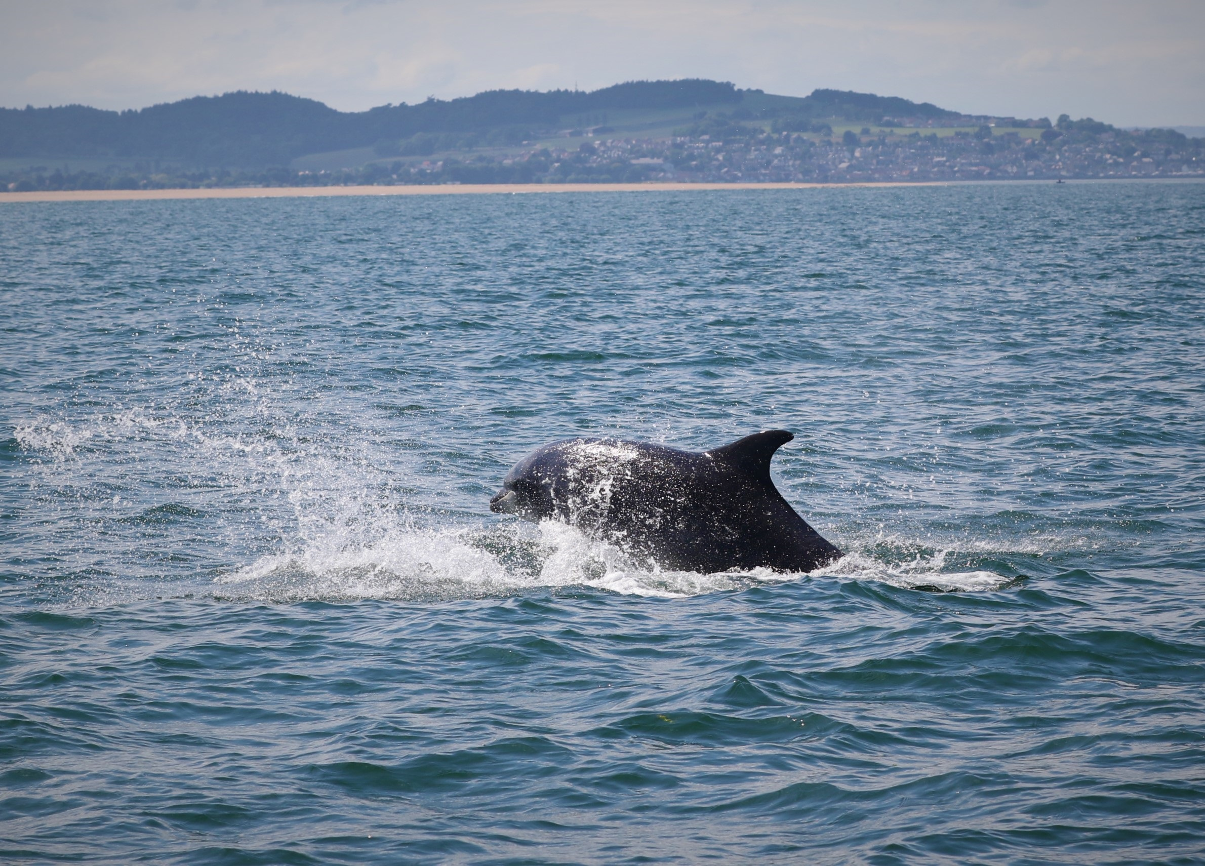 One of the dolphins seen at Tayport.