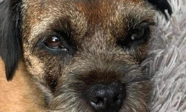 Border Terrier Twiggy has been missing since Monday.