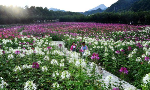 Mandatory Credit: Photo by Xinhua/Shutterstock (10699193f) Children play at a flower field in Liuba County, Hanzhong City of northwest China's Shaanxi Province, July 1, 2020. China Shaanxi Liuba Flower Field - 01 Jul 2020