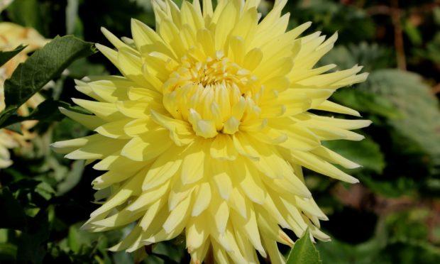 Yellow cactus dahlia