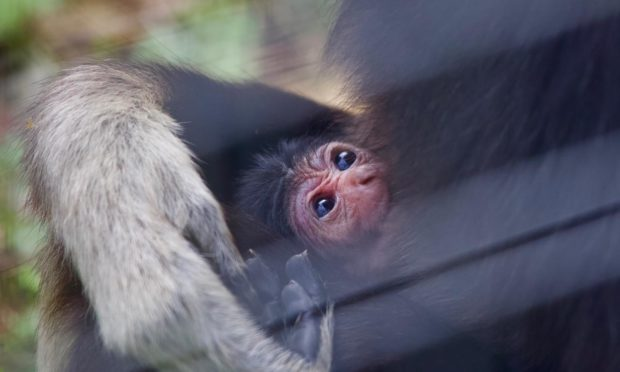 The baby gibbon at Camperdown.