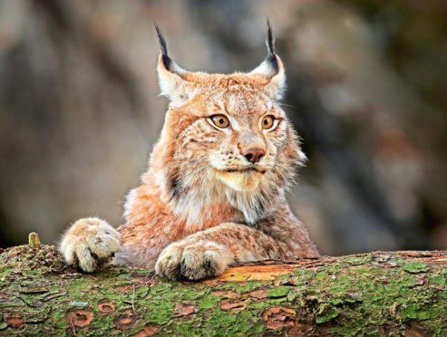 The Lynx UK Trust wants to reintroduce three of the predators in the Queen Elizabeth Forest Park.