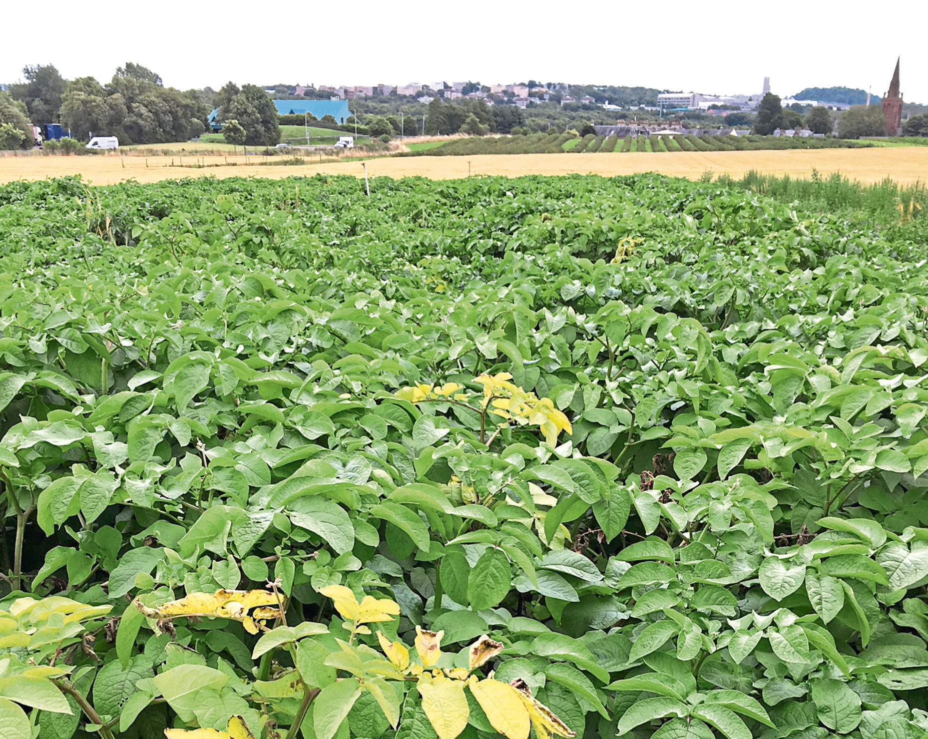 Targeted research is under way to combat blackleg disease, which can decimate potato crops.