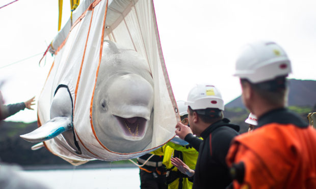The Sea Life Trust team move Beluga Whale Little Gray from a tugboat during transfer to the bayside care pool where they will be acclimatised to the natural environment of their new home at the open water sanctuary in Klettsvik Bay in Iceland. The two Beluga whales, named Little Grey and Little White, are being moved to the world's first open-water whale sanctuary after travelling from an aquarium in China 6,000 miles away in June 2019. PA Photo. Issue date: Monday August 10, 2020. Little Gray and Little White have been living in a temporary care facility for the past year, with preparations for the move to open water including adding more blubber to ready them for the cooler temperatures, as well as being introduced to natural flora and fauna. See PA story ANIMALS Belugas. Photo credit should read: Aaron Chown/PA Wire