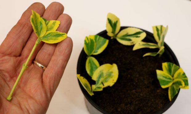 Euonymus Emerald n Gold cuttings