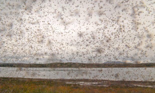 A swarm of midges (Culicoides impunctatus) in Scotland.
