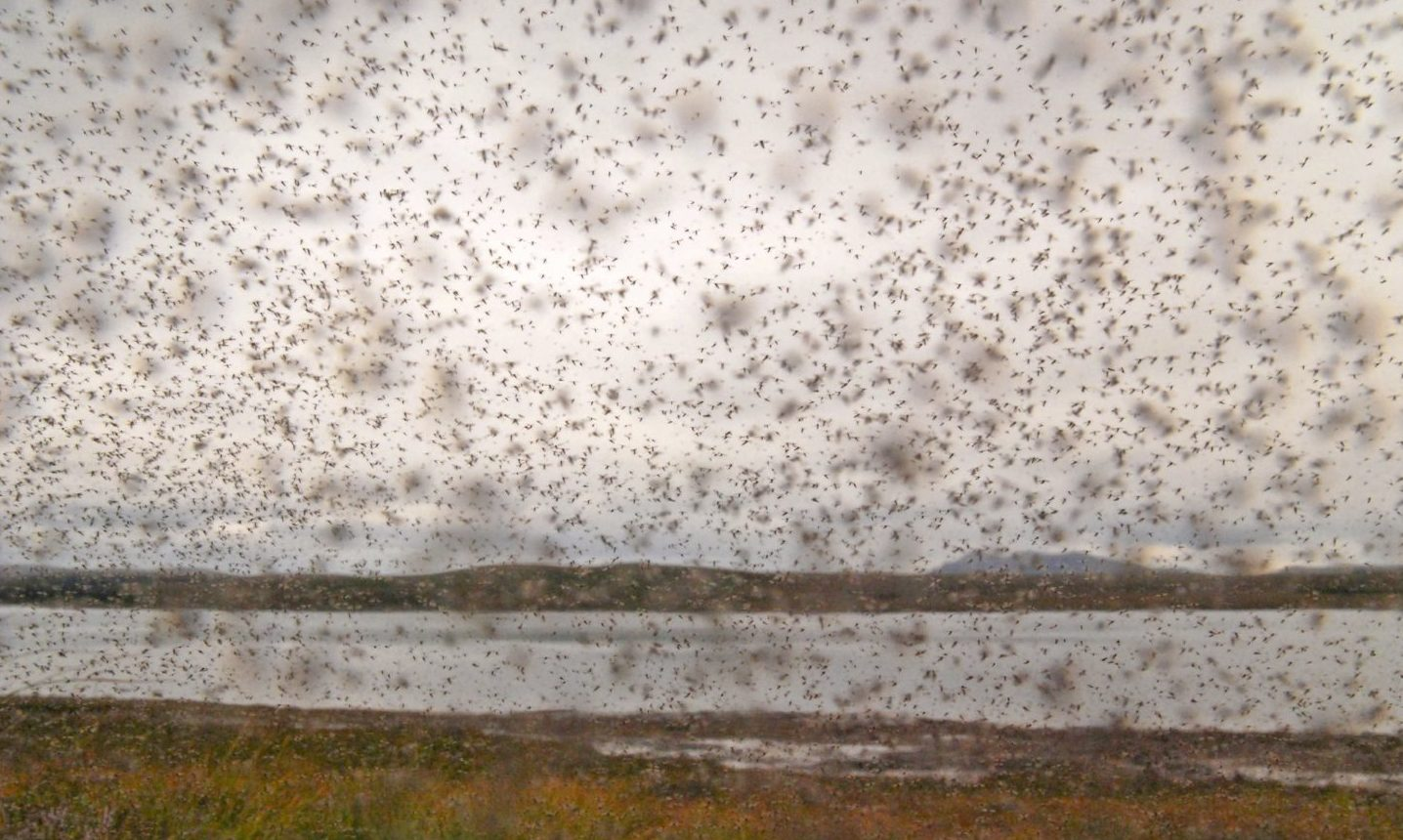 A swarm of midges (Culicoides impunctatus) in Scotland.