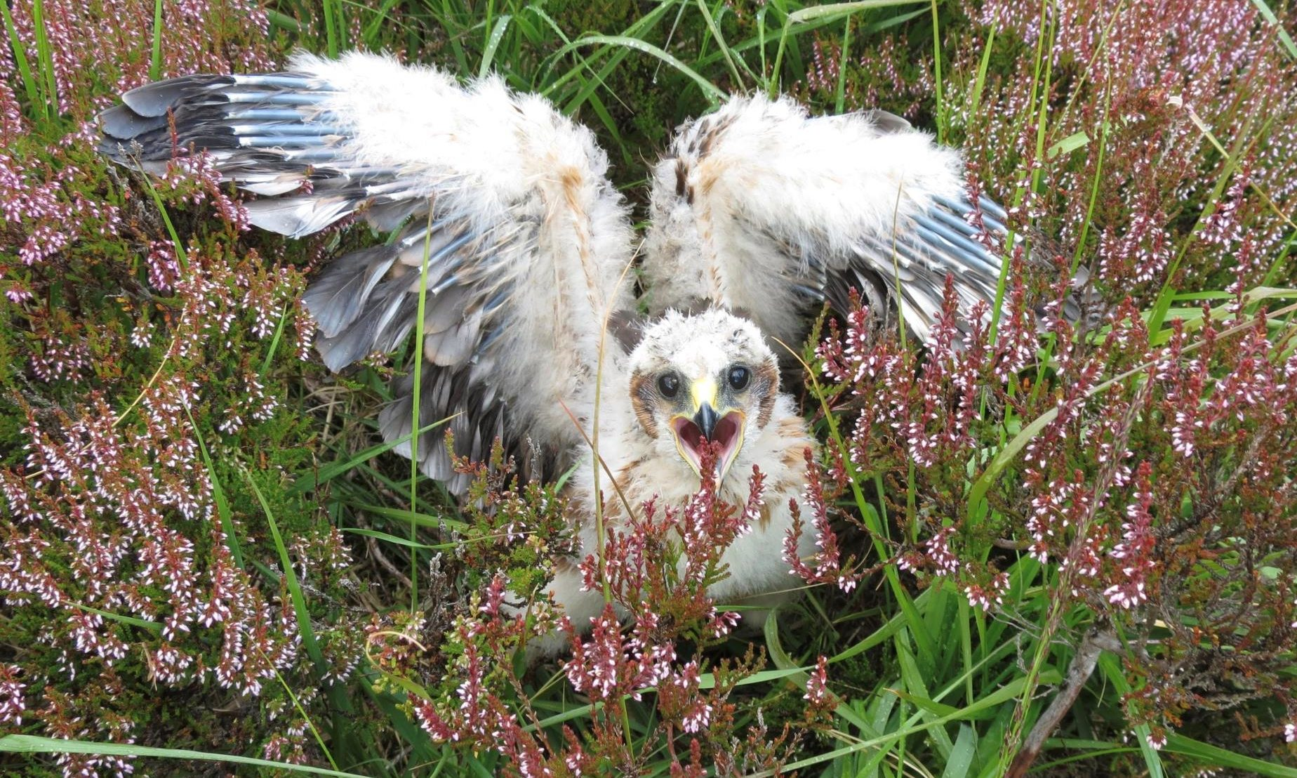 Hen Harrier chicks have successfully fledged in the Angus Glens. Pic: Mike Groves.