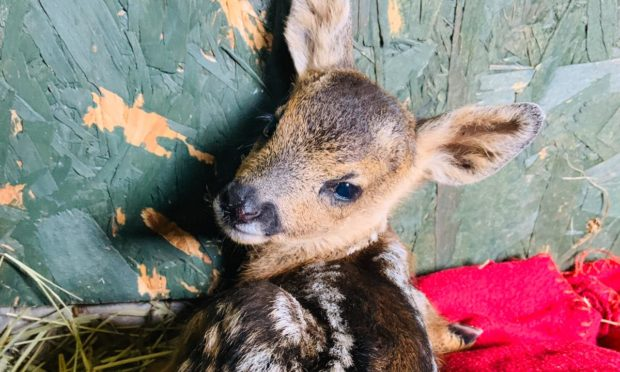 Fawns, foxes, hedgehogs and birds have all suffered after people in Scotland attempted to treat them instead of contacting SSPCA.