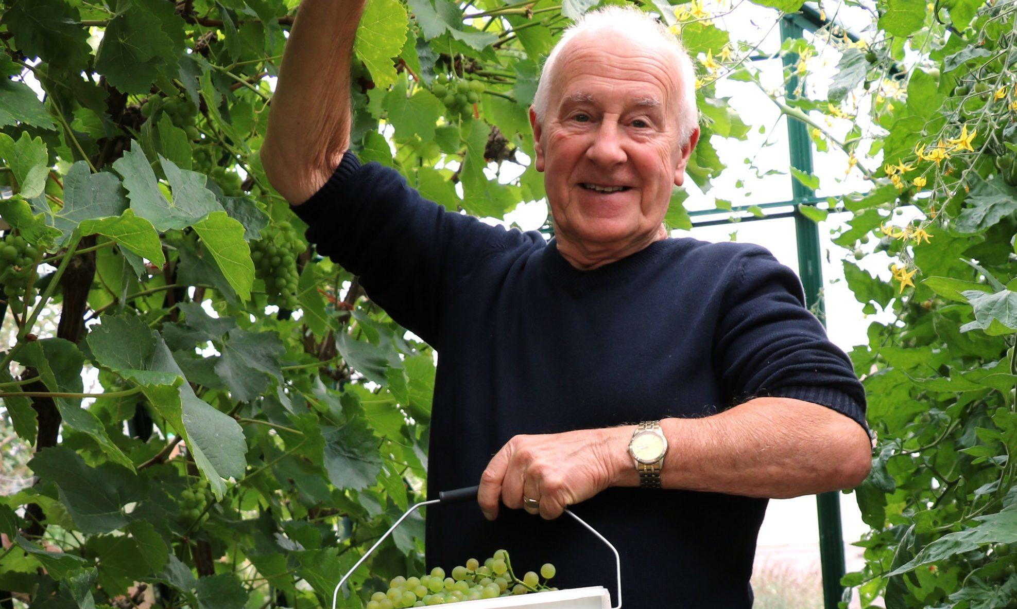 John picks the Solaris grapes