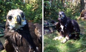 Photos of a young Tom the gold eagle by Raptor Persecution UK.