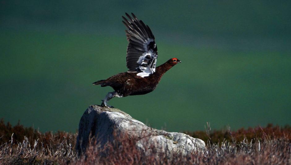 grouse shooting