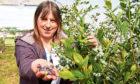 Blueberry breeder Susan McCallum with her crop.