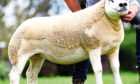 The record-breaking gimmer sold at the Solway & Tyne Texel Breeders Club sale in Carlisle.