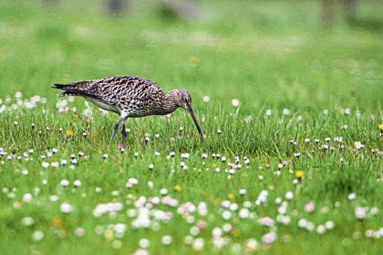 A project in Strathspey includes managing habitats for wading birds such as curlews.