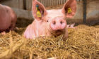 THREAT: There is no cure for the disease, which causes up to 100% mortality in pigs.