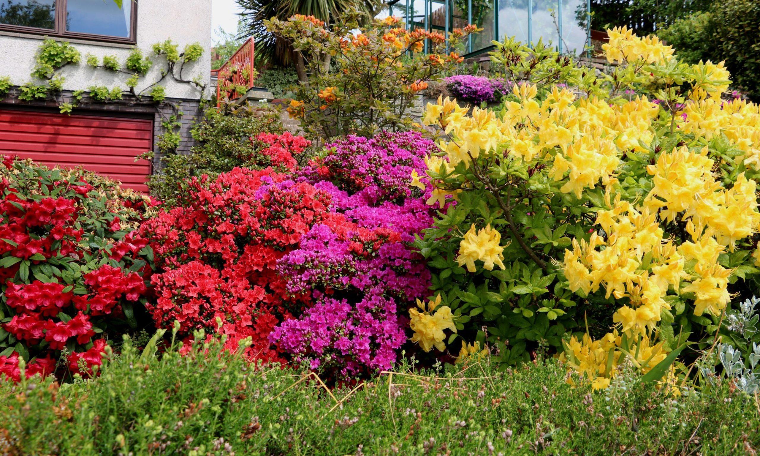 Azaleas flowering May 2020