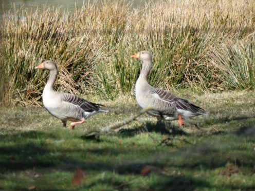 A pair of greylag geese just flown in and pictured in Glenesk.