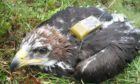 A tag removed from a golden eagle was recovered in Perthshire. Picture: RSPB Scotland.
