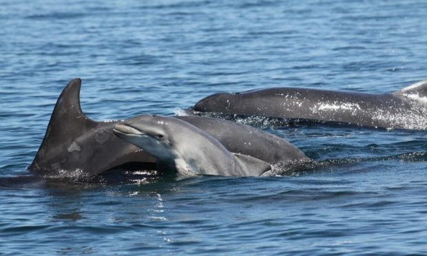 Bottlenose dolphins off the coast of Fife.