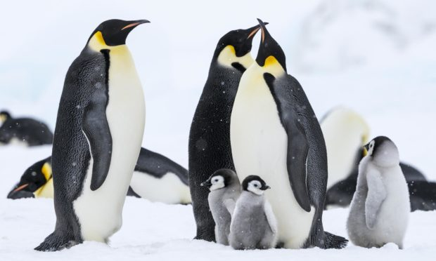 Emperor Penguins and chicks at Snow Hill Island colony, Antarctica