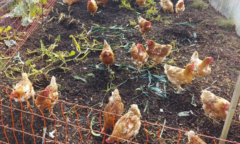 Kats hens are helping to keep the slug population at bay.