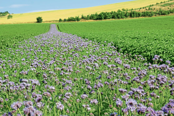 NATURAL SOLUTION: Wild flowers have been planted in the potato fields at Milton of Mathers, near Montrose.