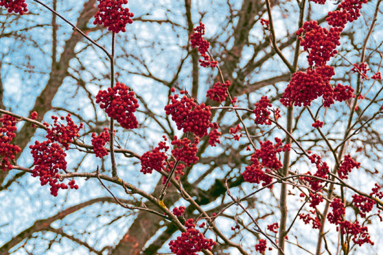 Clusters of red color mountain ash rowan berries close up on branches of rowan tree without leaves against blue autumn sky; Shutterstock ID 1533038216; Job: weekend magazine