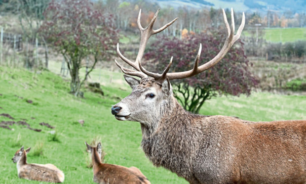 The red deer are an iconic part of Scotland, and they should get their forests back.